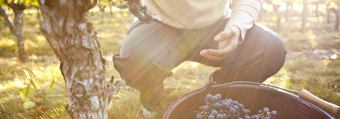 Vin AOC Comté Tolosan et IGP, Temps des Vendanges - Atrium Vigouroux