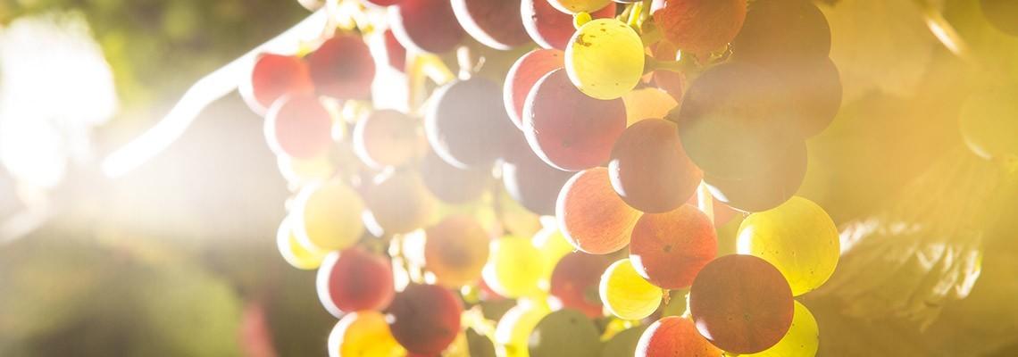 Cépages des grands vins du Sud de la France - Atrium Vigouroux