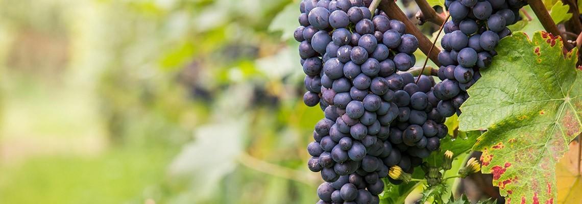 Vins de cépage Pinot noir