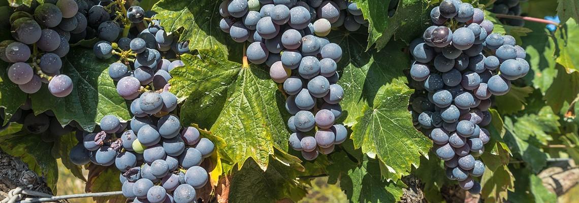 Vins de Cabernet Sauvignon