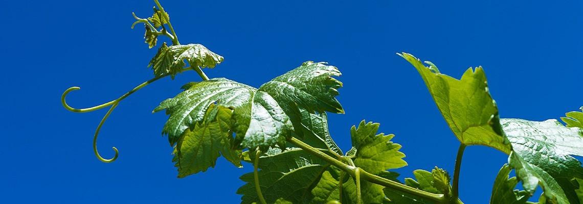 Nos vins de Cabernet Franc