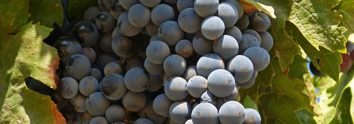 Nos vins de cépage Grenache