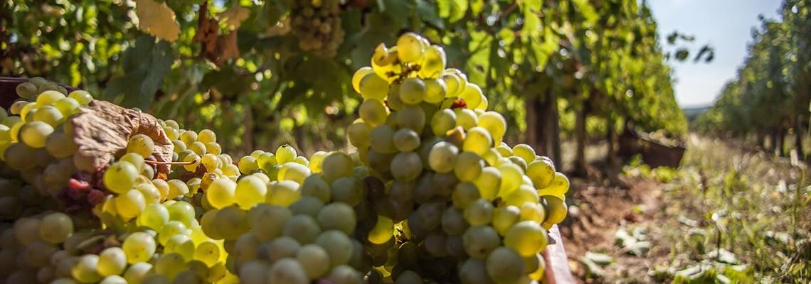 Nos vins de Chenin